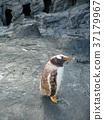penguin, penguins, baby 37179967