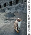 penguin, penguins, baby 37180035