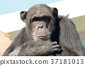 animal, animals, ape 37181013