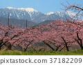 peach, yamanashi, prefecture 37182209