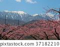 peach, yamanashi, prefecture 37182210
