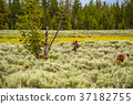 Grizzly bear in Yellowstone National Park 37182755