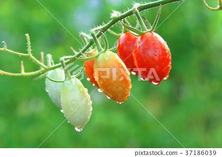 Tomato Flutica 37186039