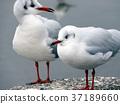 Seagull 37189660