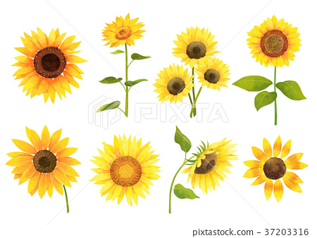 Autumn object illustration - sun flowers, cosmos, chestnut, maple leaf and etc. 006 37203316