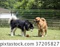 狗 狗狗 黃金獵犬 37205827