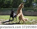 狗 狗狗 黃金獵犬 37205960