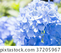 hydrangea, pretty, outdoorsy 37205967