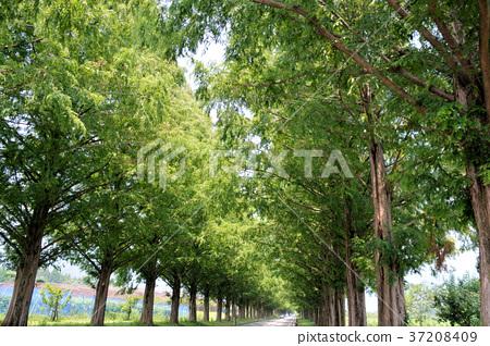 牧野水杉树 37208409