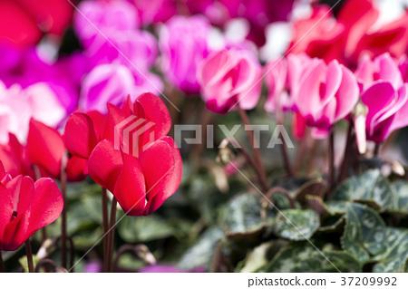仙客來 花朵 花 37209992