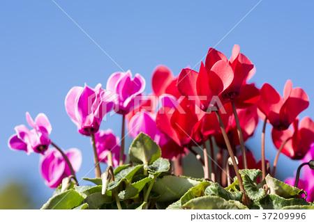 仙客來 花朵 花 37209996