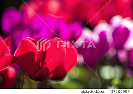 仙客來 花朵 花 37209997