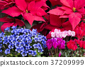 포인세티아를 다시 용담과 시클라멘 꽃 꽃 37209999