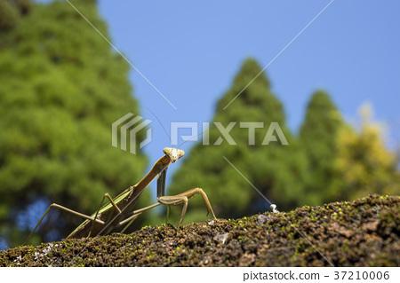 台灣大刀螳 日本巨螳螂 螳螂 37210006