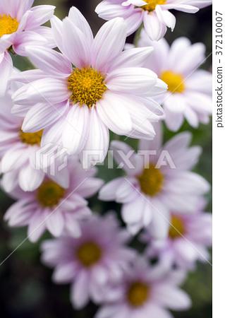 菊花 花朵 花 37210007