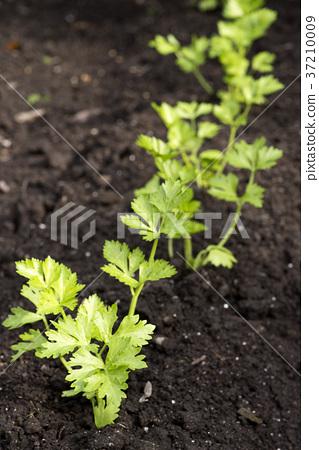 芹菜 蔬菜 水果和蔬菜 37210009