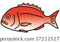 鯛魚 鯛 真鯛 37211527