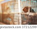 Sad imprisoned rabbit behind metal bar. 37212299