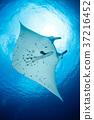 魟鱼 蝠鲼 海底的 37216452