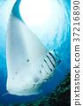 魟鱼 蝠鲼 海底的 37216890