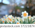 水仙花 推薦 春天 37223874