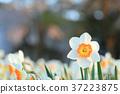 水仙花 推薦 春天 37223875