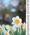 水仙花 推薦 春天 37223876