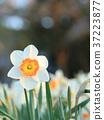 水仙花 推薦 春天 37223877