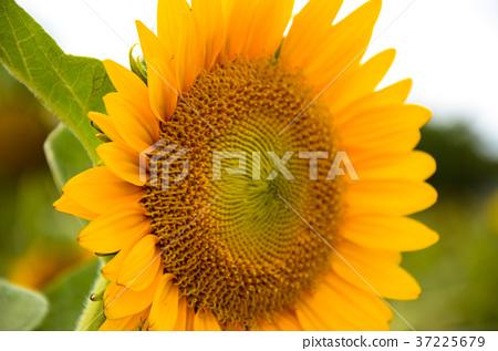 向日葵,向日葵,朝陽花 37225679