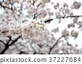 White cherry blossom background 37227684