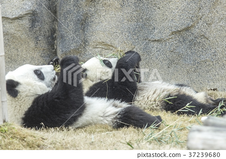 two baby pandas eating bamboo stock photo 37239680 pixta