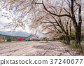 Sakura in Shinshu 37240677