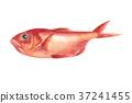 红金眼鲷 红鲷鱼 鲷鱼 37241455