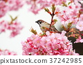 Kawazu sakura and cute sparrow 37242985