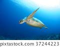 绿海龟 海龟 水下照片 37244223