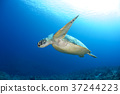 green sea turtle, chelonia mydas, sea turtle 37244223