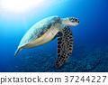 綠海龜 海龜 水下照片 37244227