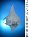 魟鱼 蝠鲼 海底的 37244241