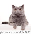 고양이, 영국, 영국풍 37247972