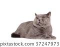 고양이, 영국, 영국풍 37247973