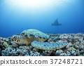 綠海龜 魟魚 蝠鱝 37248721