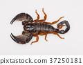 Large burrowing scorpion of the genus Heterometrus 37250181