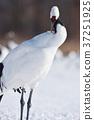 日本吊車 鳥兒 鳥 37251925