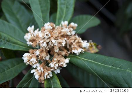 Flower of loquat 37255106