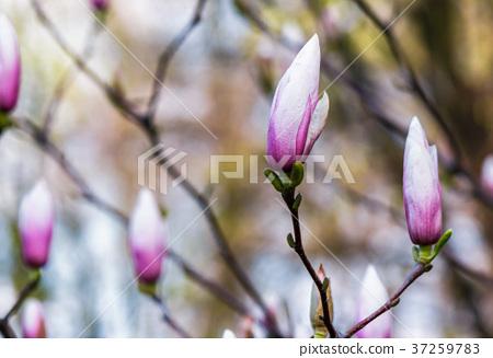 Magnolia flower blossom in springtime 37259783
