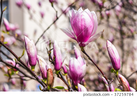 magnolia flowers on a blurry background 37259784