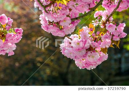 pink flowers of sakura branches 37259790