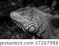 Green iguana or Common iguana  37267988