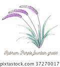 Rubrum purple fountain grass illustration 37270017