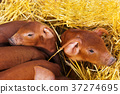 Little red piggys 37274695